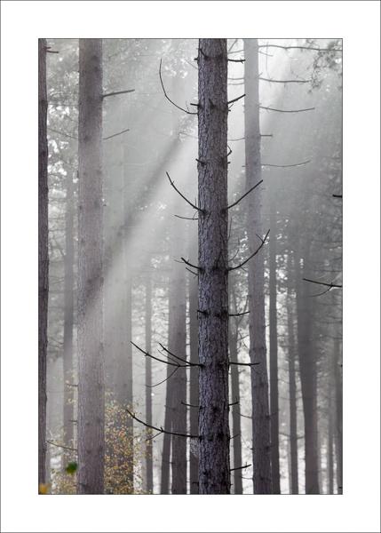 Misty Pines by Steve-T