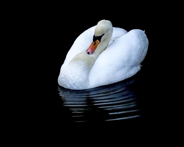 Resting Swan by jonnydart