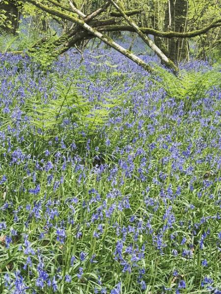 Bluebells at Meldon