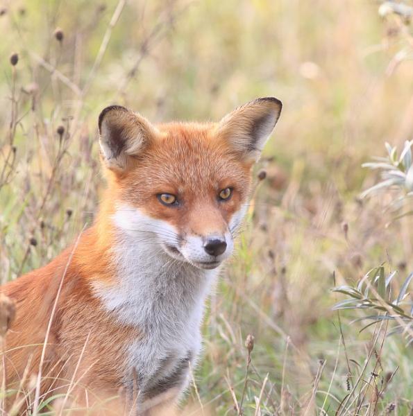 Fantastic Mr Fox by HenB