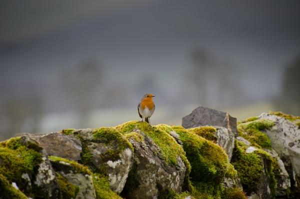 A robin posing on a drystone dyke by Craigie10