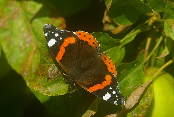 Red Admiral - A reminder of Summer by TonyDy