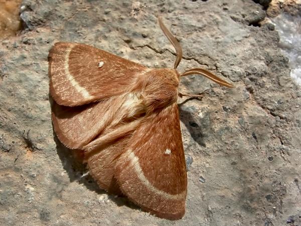Oak Eggar Moth