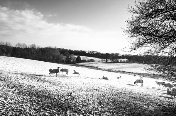 Snowy sheep field by dawnstorr