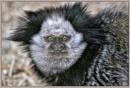 Geoffroy's Marmoset by PhilT2
