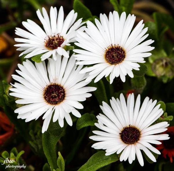 Mesembryanthemums by Jodyw17