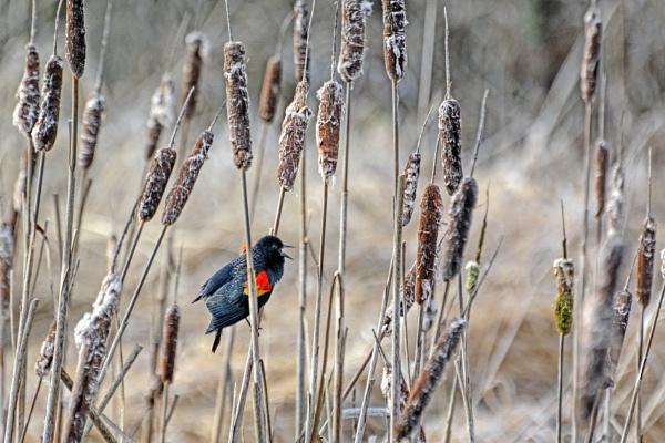 Songbird by RSK