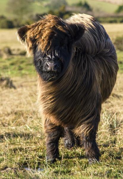 highland calf by interchelleamateurphotography
