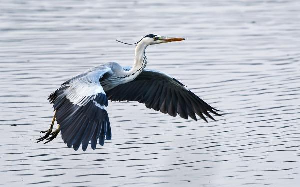 Grey Heron just took off ! by swami1969