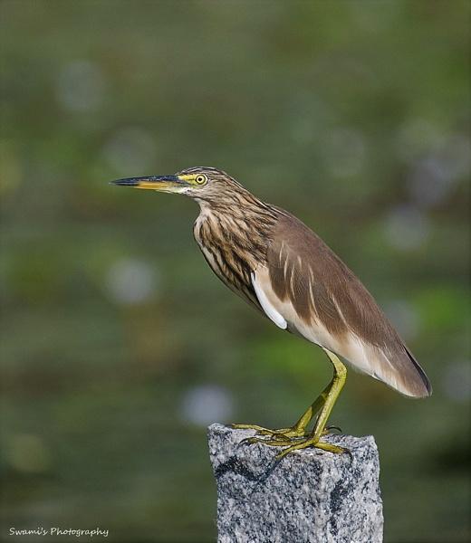 Pond Heron by swami1969