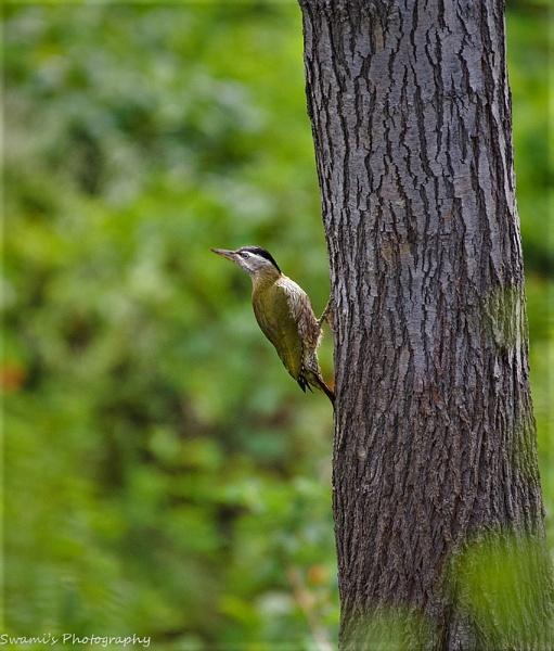Scally Bellied Woodpecker Female by swami1969