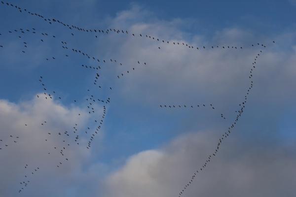 Skene of Geese by moonboots