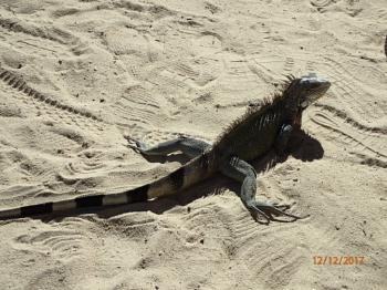 Tracking Iguana