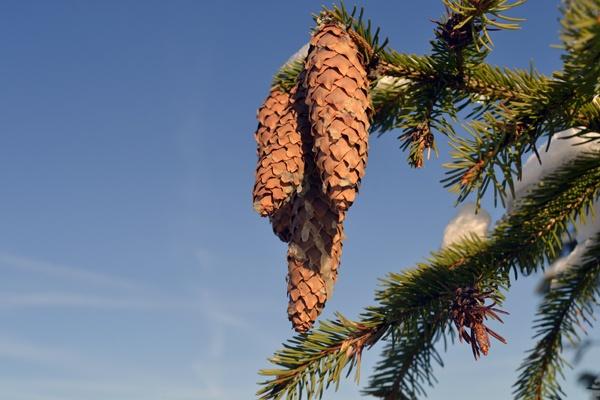pine-cone by Laslo
