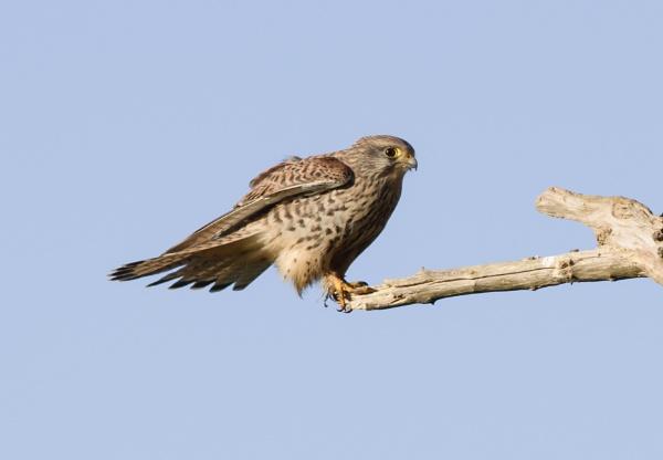 Female Kestrel by ali63