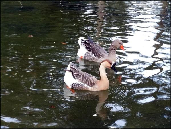quack quack!! by laura1