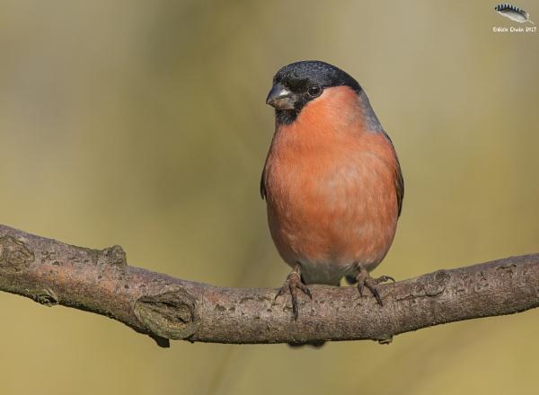 Male Bullfinch by mufftrix