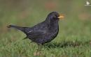 Blackbird by mufftrix
