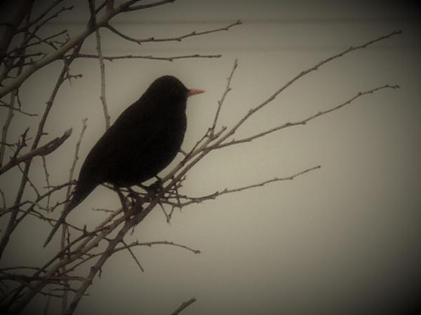 blackbird in the mist