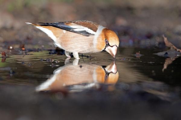 Hawfinch. by stu8fish