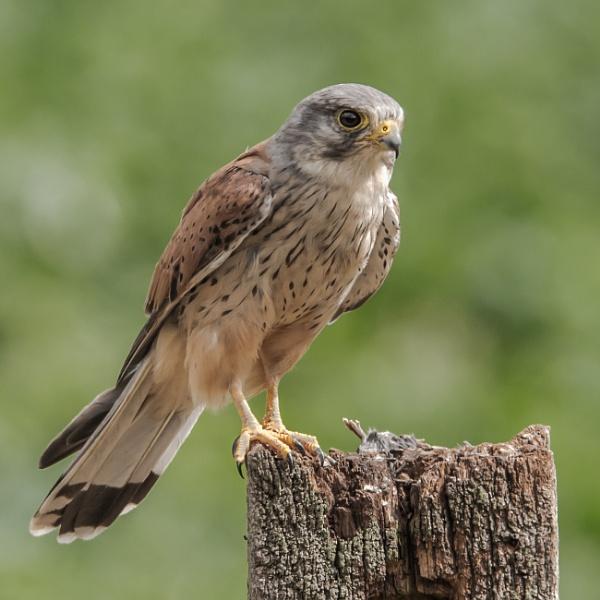 Kestrel (Male) - (Falco tinnunculus) by RobertTurley