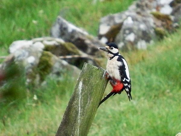 Woodpecker  by fragile