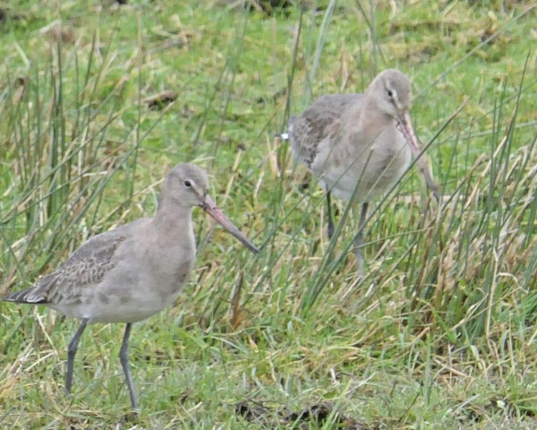 Black-tailed Godwits by Ted447