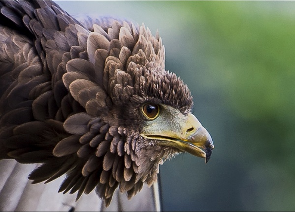 Bateleur eagle. by 10delboy
