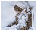 Mrs. Junco by taggart