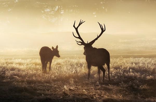 Deer in mist by Albooth
