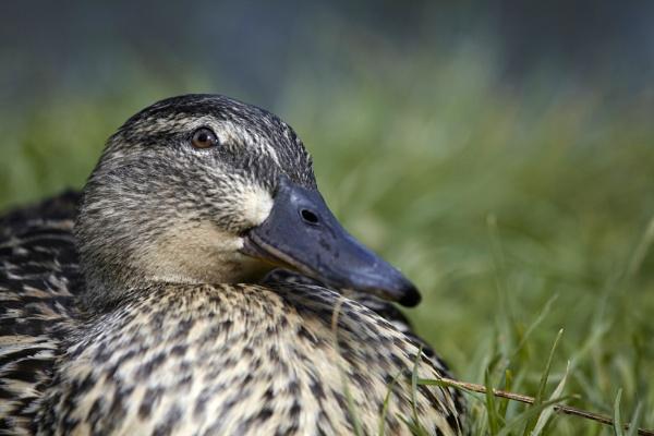 quack by annaliese