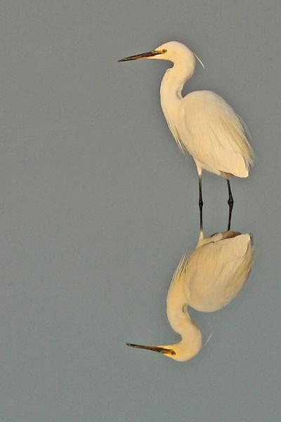 Little Egret--Egretta garzetta by bobpaige1
