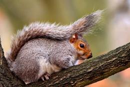 Grey Squirrel--Sciurus carollinensis
