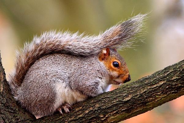 Grey Squirrel--Sciurus carollinensis by bobpaige1