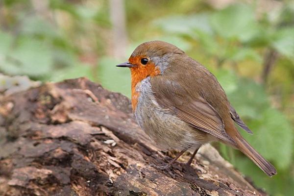 Robin by bobpaige1