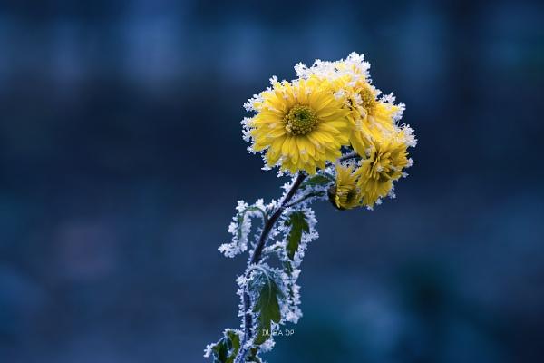 Winter flower by duba
