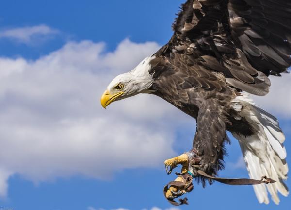 Eagle in flight by AnnHarrisskitt