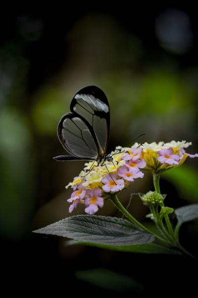 Glasswing butterfly by AnnHarrisskitt