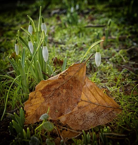 Leaves like rusty tin by BillRookery