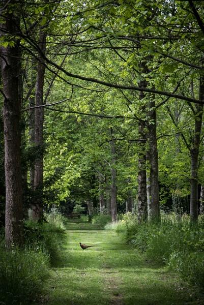 Pheasant wood by BiffoClick