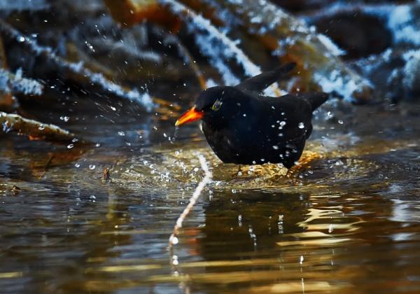 Blackbird bathing by hannukon