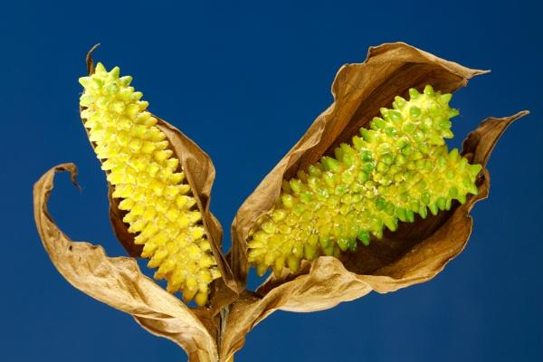 Schlangenwurz, Drachenwurz oder Sumpf-Calla, Calla palustris, Blütenstempel, welk by mongol