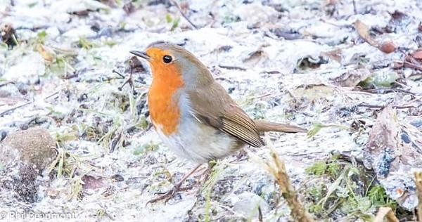 Wintery robin