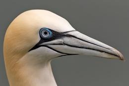 Gannet (Morus bassanus)