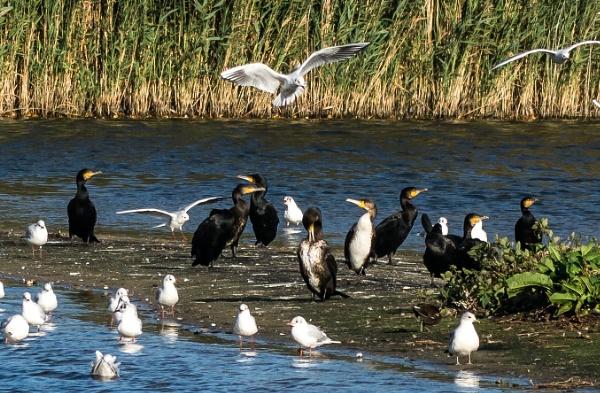 flock cormorants by madbob