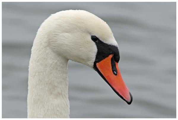 swan lake by davidgibson