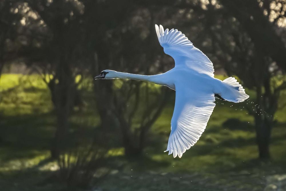 in flight swan by chensuriashi Nikon D300 Nikon Digital SLR