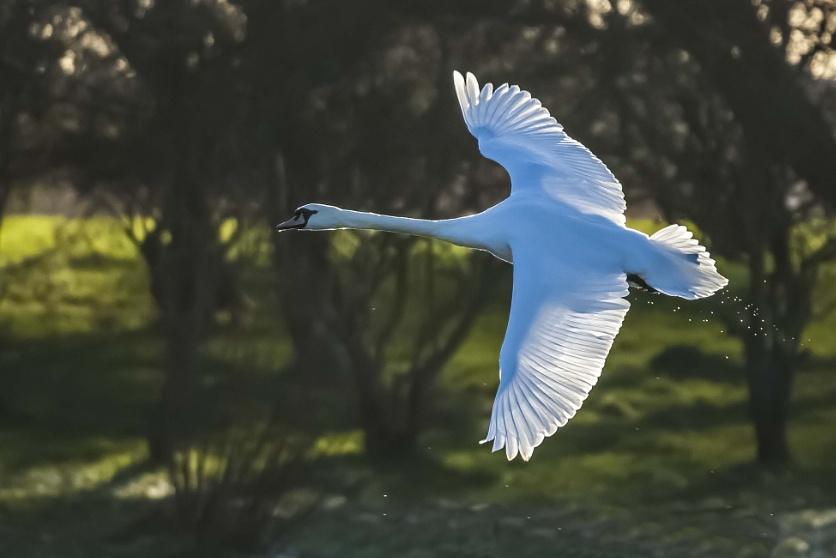 In Flight Swan