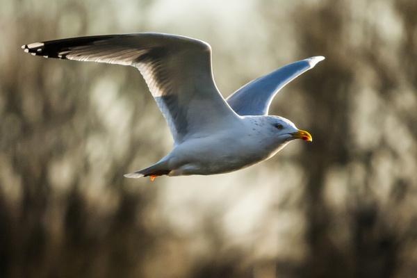 Gull BIF by chensuriashi