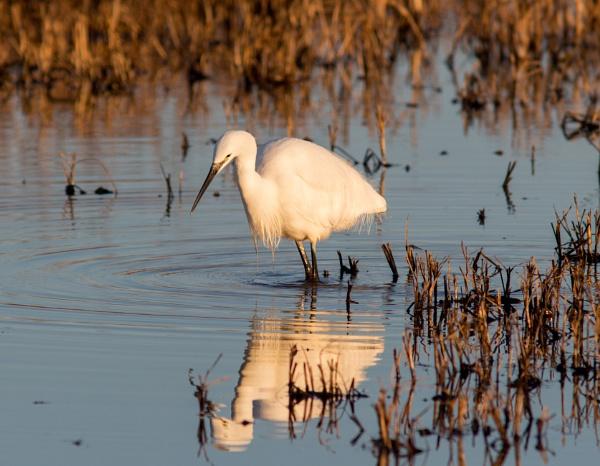 Little egret by oldgreyheron